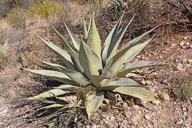 foto of century plant  - Century Plant Growing in the Desert along the Windows Trail in Big Bend National Park in Texas  - JPG