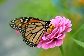 picture of zinnias  - butterfly on zinnia flower in garden under sunshine - JPG