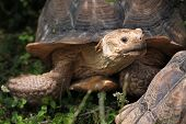 stock photo of spurs  - African spurred tortoise  - JPG