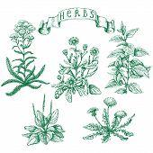 stock photo of ribwort  - The set of medicinal plants - JPG