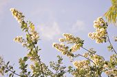pic of crepe myrtle  - Crepe myrtle blooms in morning light - JPG