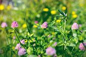 stock photo of red clover  - Beautiful flowering  - JPG
