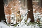 stock photo of freeze  - Eurasian lynx cub standing in winter colorful forest with snow - JPG