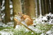 foto of freeze  - Eurasian lynx cub lying on tree trunk in winter colorful forest with snow around - JPG