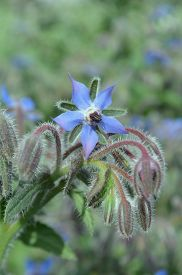 image of borage  - Borage  blue  flowers close up  - JPG