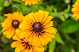 stock photo of black-eyed susans  - Images taken of an early summer field of the wild Black - JPG