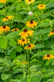 foto of black-eyed susans  - Images taken of an early summer field of the wild Black - JPG