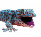 stock photo of gekko  -  Gecko - JPG
