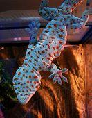 foto of tokay gecko  - Tokay gecko - JPG