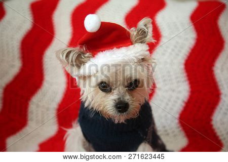 poster of Small dog Christmas. A Morkie half Maltese - Yorkie dog is NOT AMUSED as he is made to wear a Santa