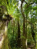 Big Trees And Lush Vegetation Of The Subtropical Waipoua Forest, New Zealand poster