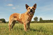 pic of cattle dog  - red australian cattle dog upright in a field - JPG