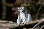 Lemur Catta On The Tree. The Ring-tailed Lemur (lemur Catta) Is A Large Strepsirrhine Primate And Th poster