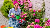 Plant Care And Gardening. Happy Woman Gardener Plant Flowers. Woman Care And Grow Hydrangea Flowers  poster