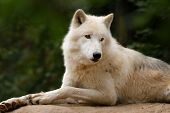 Profile Of An Artistic Wolf In Nature. White Wolf. Photo Of The Animal World. Arctic Wolf In Nature. poster