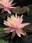 pic of water lily  - Water lilies in a pond in summer day - JPG
