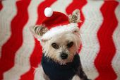 Small dog Christmas. A Morkie half Maltese - Yorkie dog is NOT AMUSED as he is made to wear a Santa  poster