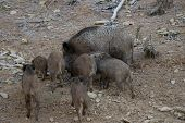 The wild boar (Sus scrofa), also known as the wild swine, Eurasian wild pig, or simply wild pig,is a poster