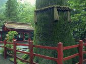 image of gentle giant  - Japanese Temple inner yard by wet summer time with giant cryptomeria  - JPG