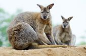 picture of wallabies  - Two wallabies sitting and resting showing fur detail - JPG
