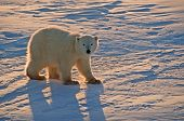 picture of polar bears  - Polar bear cub of the year - JPG