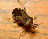 stock photo of shield-bug  - Top view of a stink bug or shield bug - JPG