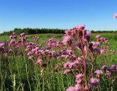 pic of cardo  - Flores de cardos en un dia soleado - JPG