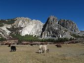Yak herd and limestone formation