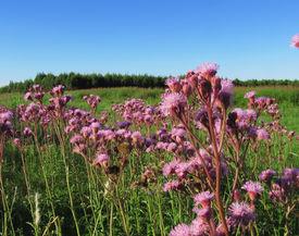 stock photo of cardo  - Flores de cardos en un dia soleado - JPG
