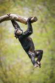picture of swing  - Young Chimpanzee Swinging from a Tree Branch - JPG
