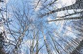stock photo of birchwood  - birchwood trees against the blue sky - JPG