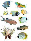 pic of bigeye  - Collection of Tropical Reef Fish isolated on white background - JPG