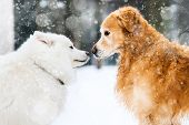 stock photo of golden retriever puppy  - beautiful red and white husky retriever in the snow in winter - JPG