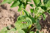 stock photo of potato bug  - two striped colorado beetles sit on potato plant leaf. Danger threat for harvest.