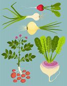 picture of rutabaga  - Vegetable gardening and cooking illustration - JPG
