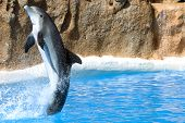 picture of bottlenose dolphin  - Dolphin dancing in water in Loro Park - JPG