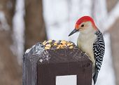 stock photo of woodpecker  - Male red - JPG