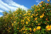 image of lats  - Amazing scene of beautiful nature at Dalat countryside grove of wild sunflower bloom vibrant da quy flower in beauty yellow up to blue sky in winter day a special flower of Da Lat Vietnam - JPG