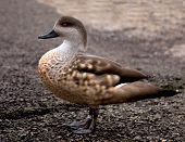 image of crested duck  - Crested duck  - JPG