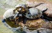 foto of tortoise  - Water tortoises outdoors - JPG