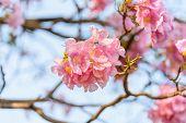stock photo of trumpet flower  - Beautiful Pink Trumpet flower or Tabebuia heterophylla - JPG