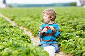 pic of strawberry blonde  - Funny little kid boy picking and eating strawberries on organic bio berry farm in summer on warm sunny day. Harvest fields in Germany.