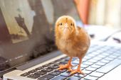 foto of environment-friendly  - cute chick on laptop keyboard - JPG
