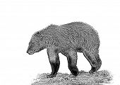 picture of grizzly bear  - Line art - JPG