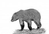 foto of grizzly bear  - Line art - JPG