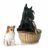foto of scottish terrier  - scottish terrier and chihuahua in front of white background - JPG