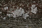 picture of lichenes  - Texture of tree bark with lichen on the surface - JPG