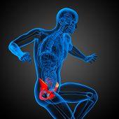picture of pelvis  - 3D medical illustration of the pelvis bone - JPG