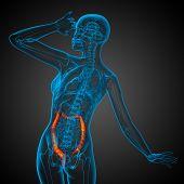 stock photo of intestines  - Human digestive system large intestine  - JPG