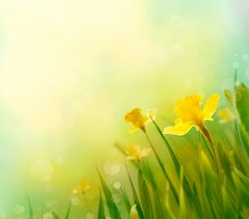 stock photo of daffodils  - Daffodil floral spring background - JPG